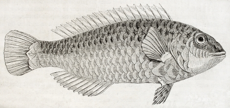 labridae: Old illustration of Parrotfish (Sparisoma cretense) that lives close to the shore in Crete. By unidentified author, published on Magasin Pittoresque, Paris, 1850