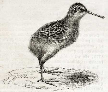cryptic: Old illustration of a snipe chick (Scolopax gallinago). By unidentified author, published on Magasin Pittoresque, Paris, 1850