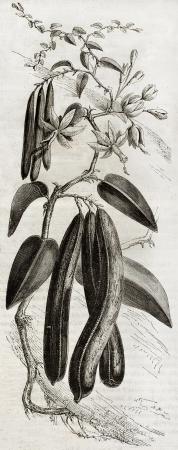 botanic: Old illustration of a Vanilla plant (Vanilla planifolia). By unidentified author,  published on Magasin Pittoresque, Paris, 1850