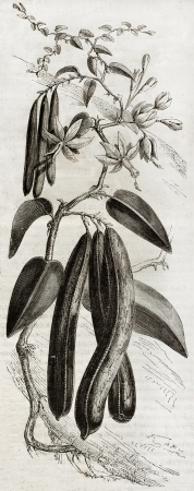Old illustration of a Vanilla plant (Vanilla planifolia). By unidentified author,  published on Magasin Pittoresque, Paris, 1850