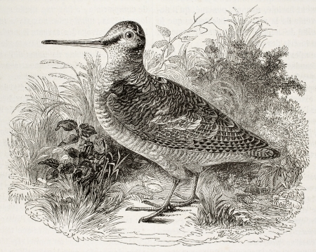 Old illustration of a woodcock (Scolopax rusticola). By unidentified author. Published on Magasin Pittoresque, Paris, 1850.