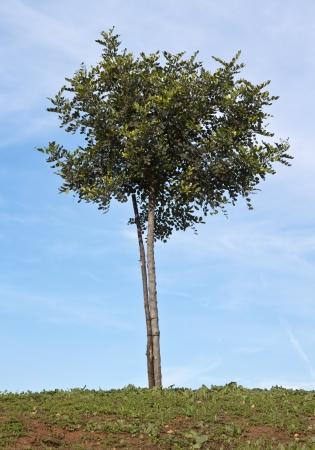 Small Carob tree Ceratonia siliqua with stake 版權商用圖片