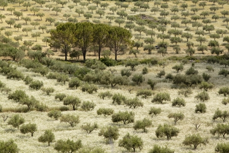arboleda: Cuatro pinos rodeado de olivar en Sicilia