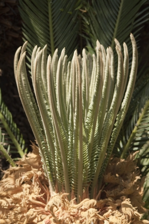 Cycas revoluta sprout close up Stock Photo - 21749267