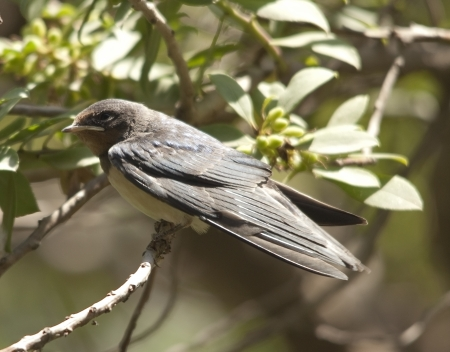 passerine: Topino (Riparia riparia) � un uccello migratore della famiglia rondine