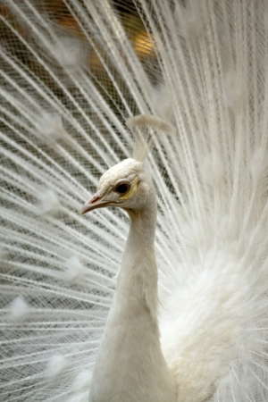 pavo: White peacock head and long neck on his tail background