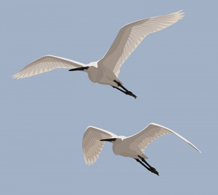wade: Couple of Little Egrets flying in the blue sky
