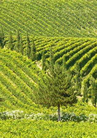 abruzzo: Vineyard rows ans cypresses in Abruzzos hills. Italy