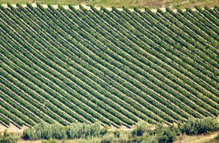 abruzzo: Vineyard rows in Abruzzos hills, Italy