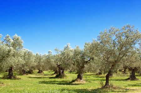 abruzzo: Olive grove in Abruzzo region, Italy