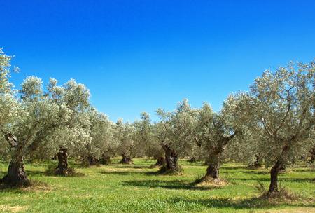 Olijfgaard in de regio Abruzzo, Italië Stockfoto