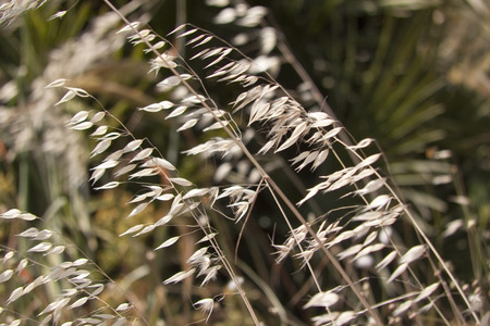 Avena fatua, better known as Common Wild Oat, is a species of grass native to Eurasia Stock Photo
