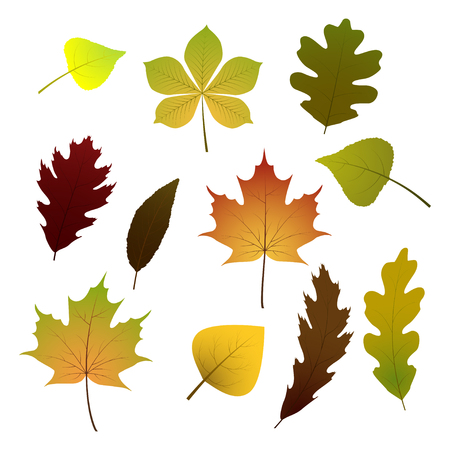 fall leaves: Vector set of colorful autumn leaves. Isolated on white background. Illustration