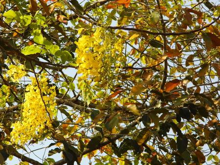 golden shower: Golden shower the flower of Thailand Stock Photo