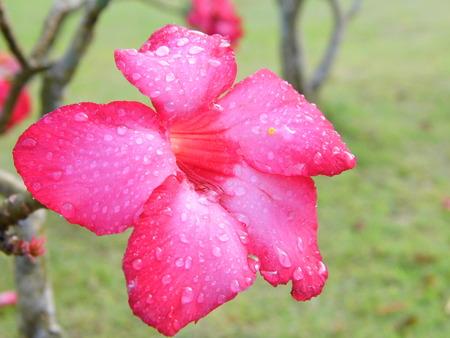 morning dew: Desert Rose flower with morning dew