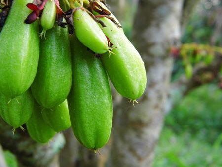 oxalidaceae: Bilimbi, Bilimbing, or cucumber tree