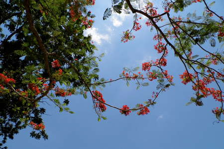 flamboyant: Flamboyant The Flame Tree Royal Poinciana Stock Photo