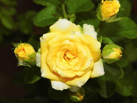 panicle: Panicle of yellow rose