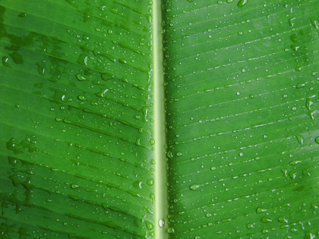 banana leaves: Banana leaf with dew background