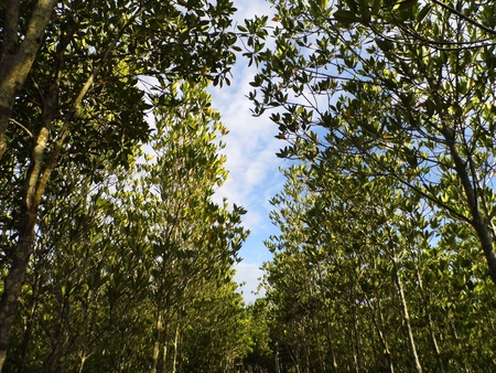 tropical evergreen forest: Mangrove forest