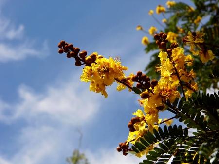 flamboyant: Copperpod Golden Flamboyant Yellow Flamboyant Yellow Flame Tree Geel Poinciana Radhachura zijn vele naam van deze bloem