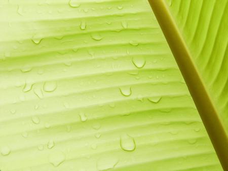 kropla deszczu: Banana tło liść z kropla deszczu Zdjęcie Seryjne