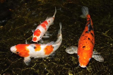 Drie koi karper beweging in water Stockfoto