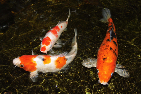 Three koi carp movement in water