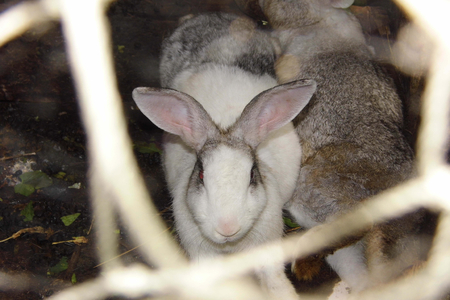 rabbit in cage: Rabbit in a cage Stock Photo
