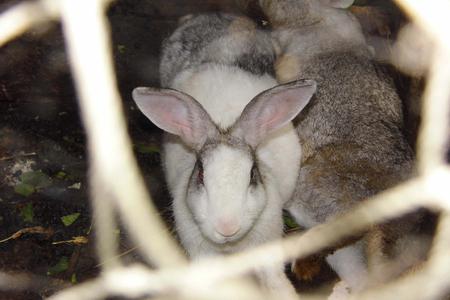 rabbit cage: Rabbit in a cage Archivio Fotografico
