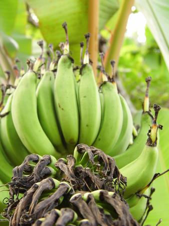 fingernail: Unripe fingernail banana or Lebmuernang banana Stock Photo