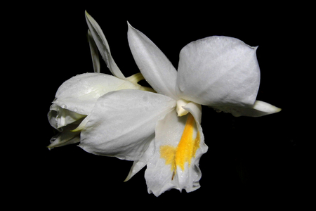thai orchid: White orchid flower on black background