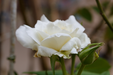 wither: Closeup of wither white rose
