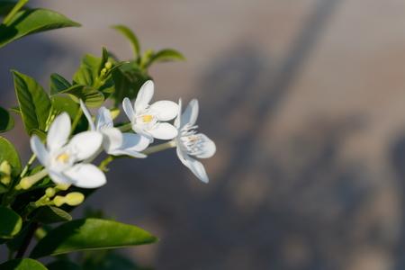 White Inda Gardenia flower with green leaf in morning light
