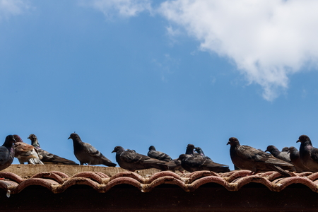 roofed house: Grey pigeons stay on tile roof in blue sky with cloud