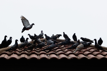 roofed house: Grey pigeons stay on tile roof and some pigeon are flying