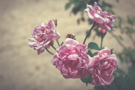 Blurred rose with color filter effect vintage style