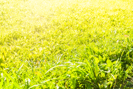 Background with Green Summer Landscape. Grass in Yellow Sunlight. Close up Stock Photo
