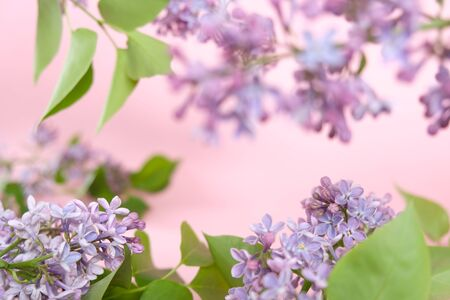 Lilac. Colorful purple lilacs blossoms with green leaves. Lilac background texture. Lilac wallpaper. No sharpen. Copy space for text and frame with flowers. Standard-Bild