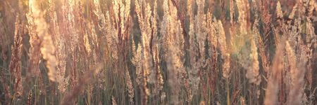 Close up of fresh thick grass in the early morning in the sun rays. Long format for web