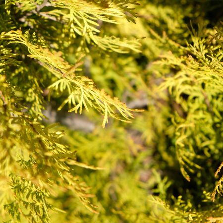 Blurred Background. Golden thuja needles on a background of green garden. Close-up. Nature concept for design.