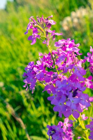 Beautiful spring summer background with wild violet meadow grass in the rays of sunset. In nature on a natural background, soft focus Фото со стока