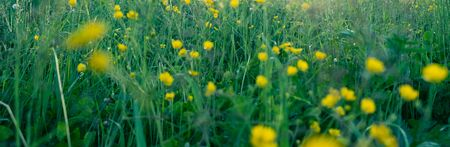 Beautiful spring summer background with wild yellow meadow grass in the rays of sunset. In nature on a natural background, soft focus