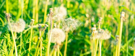 Dandelion on the meadow at sunlight background. Greenery