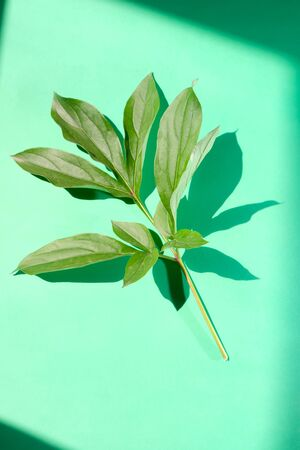 Peony leaf with trend shadows on a green background. Trendy shadows
