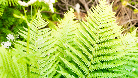 Green flowering fern in sunlight. Tropical forest