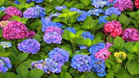 hydrangea flowers with blue, purple, red, pink, violet petals and shrub with green leaves. Zdjęcie Seryjne