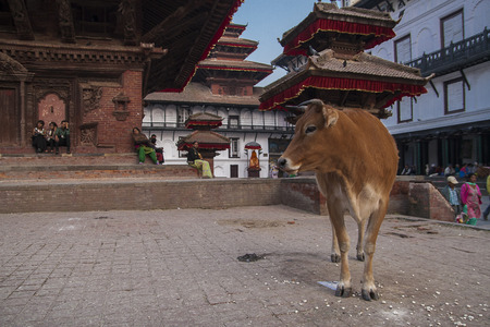 god's cow: KATHMANDU, NEPAL - CIRCA OCTOBER 2013: Durbar Square in Kathmandu circa October 2013 in Kathmandu. Editorial
