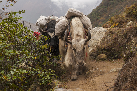 sherpa: PHORTSE THANGA, NEPAL: yak is domesticated beasts of burden, except that give milk and wool circa October 2013 in Phortse Thanga. Stock Photo