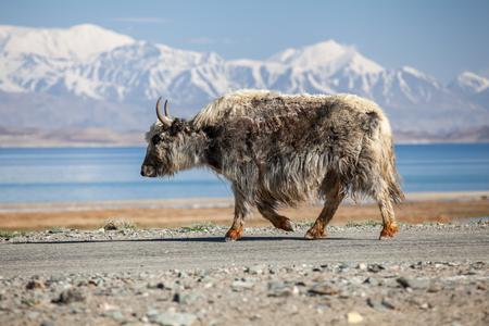 Beautiful view of  Yak at Karakul lake in Pamir in Tajikistan